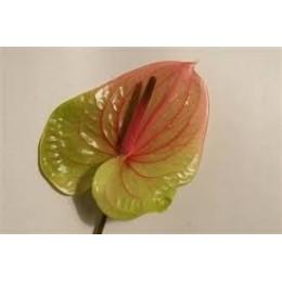 Anthurium  Choco