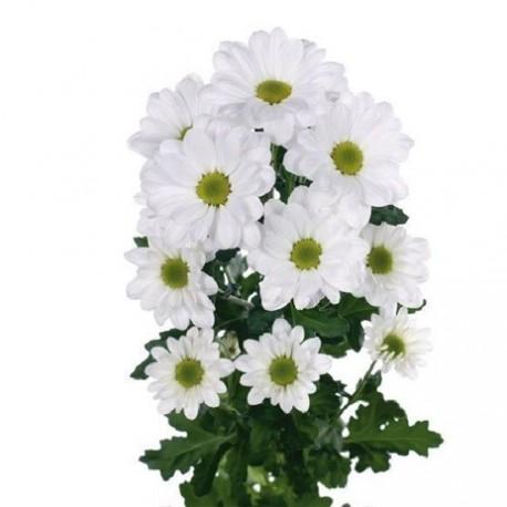 Crisantemo Bacardi blanco