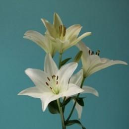 Lilium LA blanco
