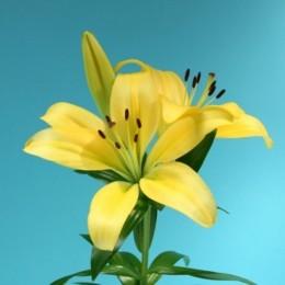 Lilium LA amarillo