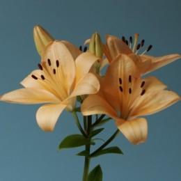 Lilium LA rosa