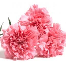 Clavel Nacional Extra Rosa
